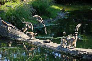Кошачий лемур катта из Мадагаскара